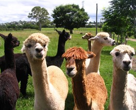 Banyandah Alpacas - Accommodation Port Hedland