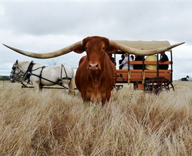 Texas Longhorn Wagon Tours and Safaris - Accommodation Port Hedland