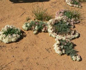 Coorow Wreath Flowers - Accommodation Port Hedland