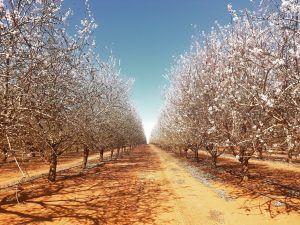 Mallee Almond Blossom Festival - Accommodation Port Hedland